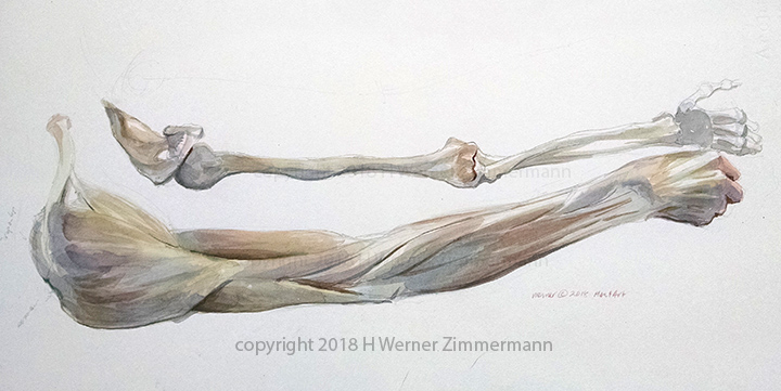 Study of the muscles as they weave and intertwine from shoulder to the hand