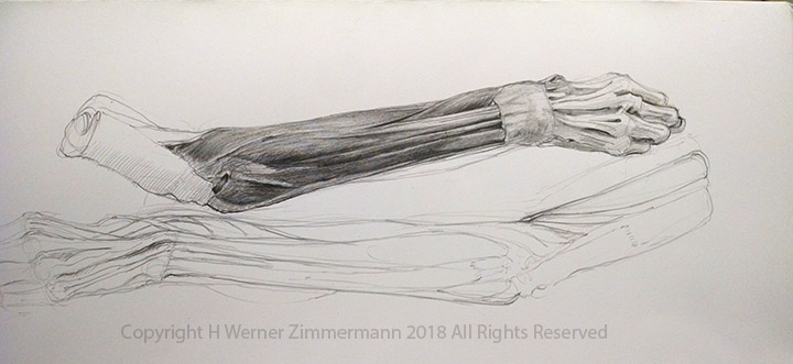 Studies of the Extensor Muscles of the Forearm